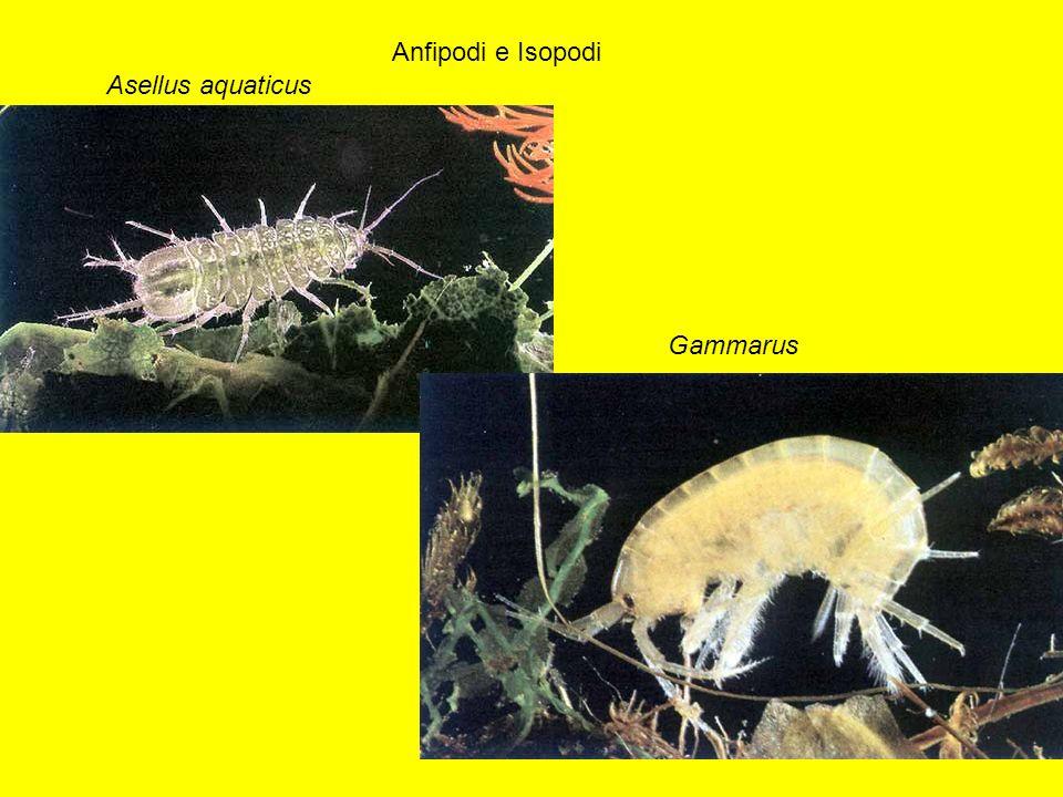 Asellus aquaticus Anfipodi e Isopodi Gammarus