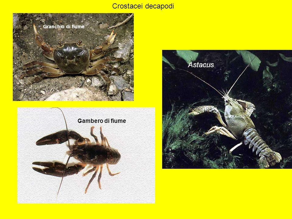 Crostacei decapodi Astacus Granchio di fiume Gambero di fiume