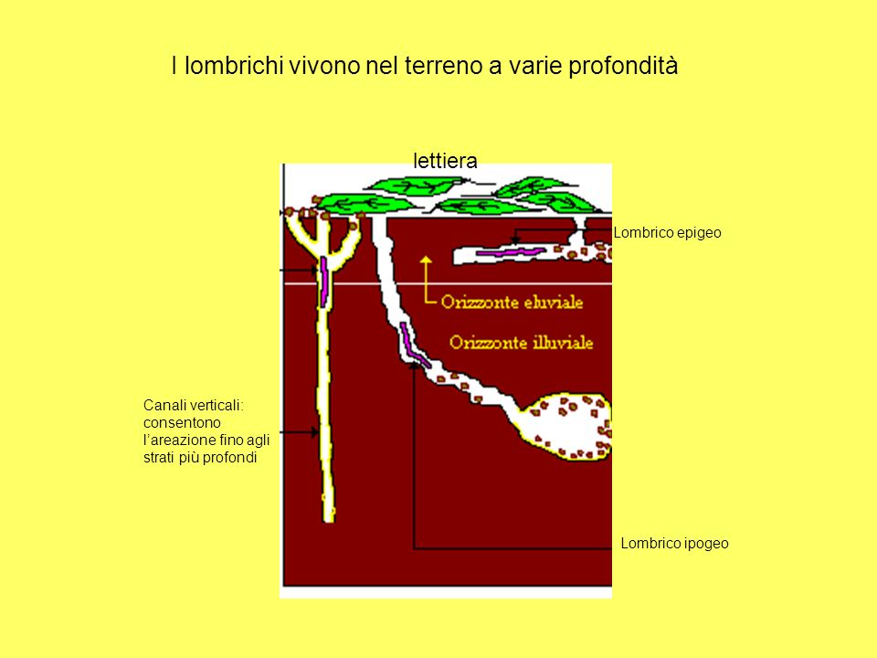 lettiera Canali verticali: consentono lareazione fino agli strati più profondi Lombrico epigeo Lombrico ipogeo I lombrichi vivono nel terreno a varie