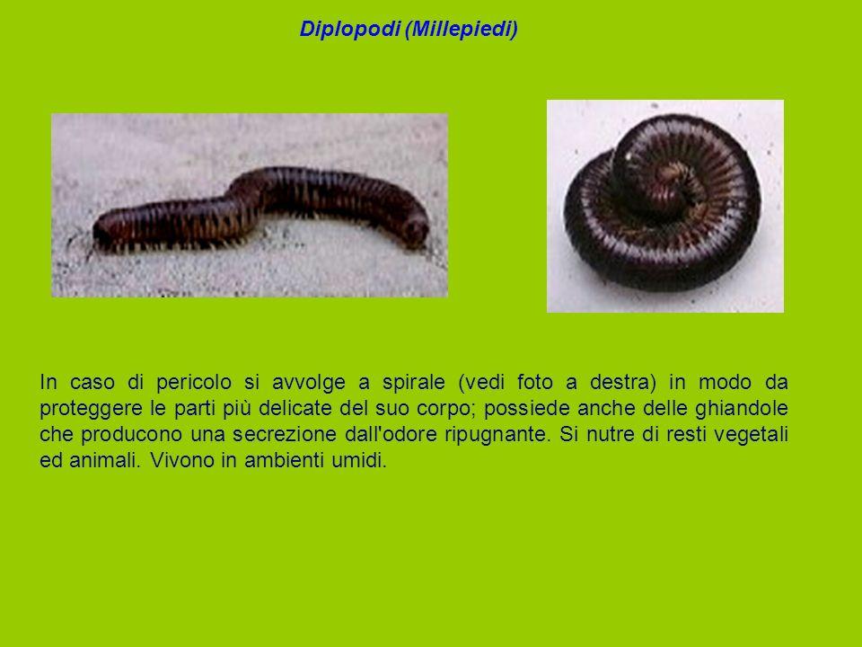 In caso di pericolo si avvolge a spirale (vedi foto a destra) in modo da proteggere le parti più delicate del suo corpo; possiede anche delle ghiandol