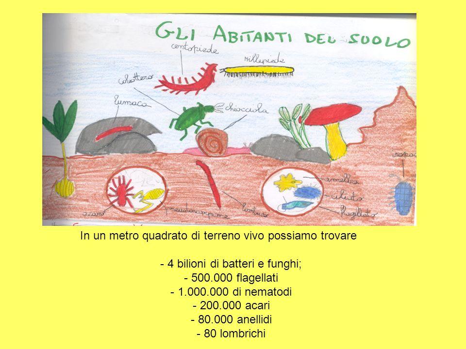 In un metro quadrato di terreno vivo possiamo trovare - 4 bilioni di batteri e funghi; - 500.000 flagellati - 1.000.000 di nematodi - 200.000 acari -