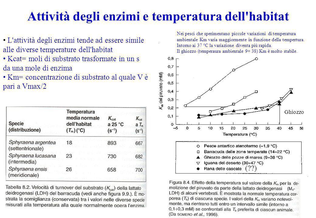 Attività degli enzimi e temperatura dell'habitat L'attività degli enzimi tende ad essere simile alle diverse temperature dell'habitat Kcat= moli di su