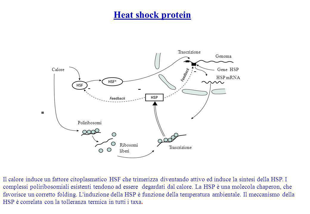 Heat shock protein - Il calore induce un fattore citoplasmatico HSF che trimerizza diventando attivo ed induce la sintesi della HSP. I complessi polir