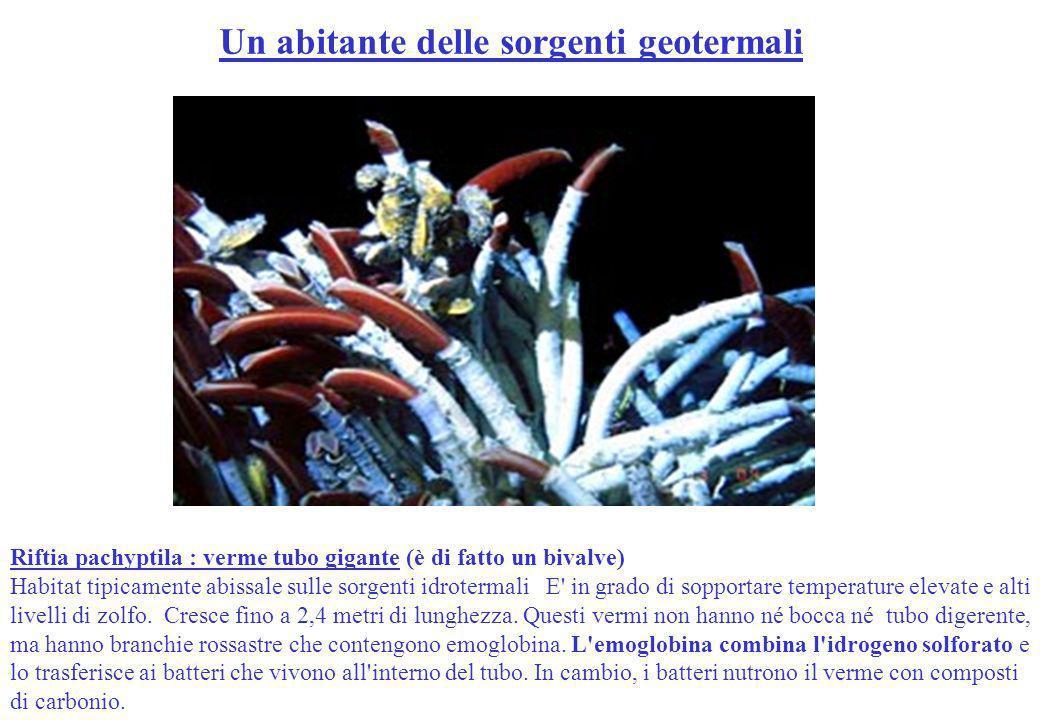 Riftia pachyptila : verme tubo gigante (è di fatto un bivalve) Habitat tipicamente abissale sulle sorgenti idrotermali E' in grado di sopportare tempe