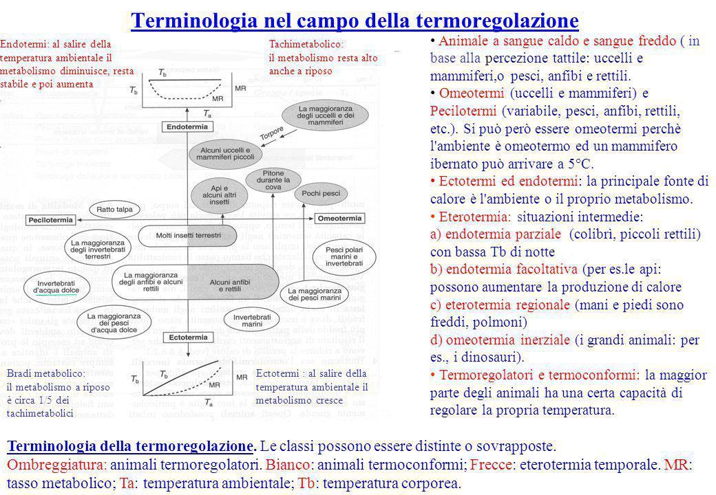 Terminologia nel campo della termoregolazione Animale a sangue caldo e sangue freddo ( in base alla percezione tattile: uccelli e mammiferi,o pesci, a