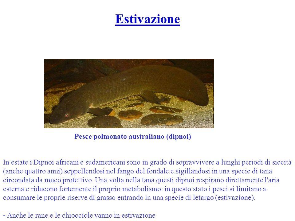 Pesce polmonato australiano (dipnoi) In estate i Dipnoi africani e sudamericani sono in grado di sopravvivere a lunghi periodi di siccità (anche quatt