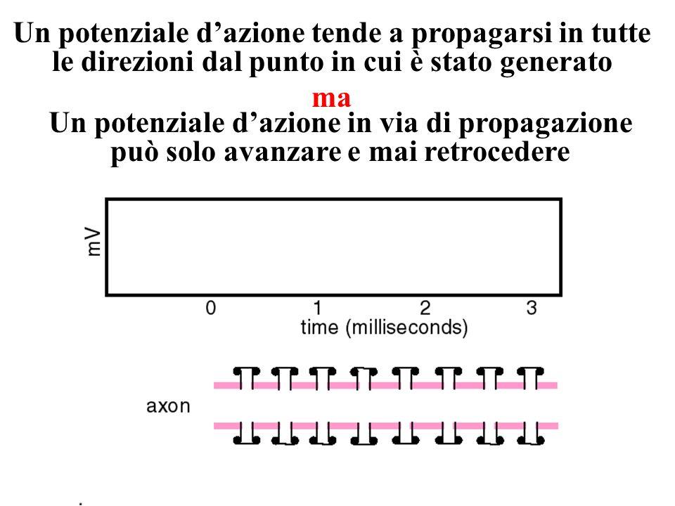 Propagazionedelpotenzialedazione E1 R1R2 E2 R3 E3 Propagazionepassiva Stimolo elettrico distanza Segnale elettrico