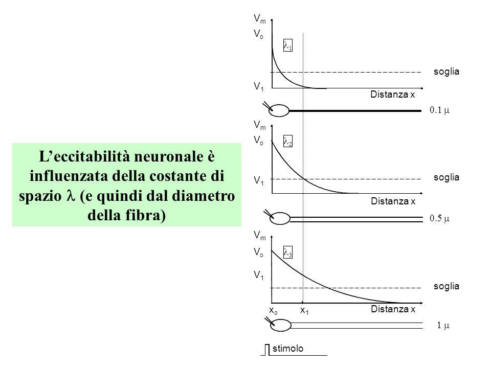 VELOCITÀ DI CONDUZIONE del potenziale dazione in una fibra nervosa Essa è direttamente proporzionale alla costante di spazio Essa è inversamente propo