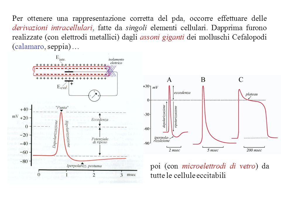 Il potenziale dazione E la risposta ad uno stimolo depolarizzante che possono dare cellule elettricamente eccitabili, cioè provviste di un corredo di