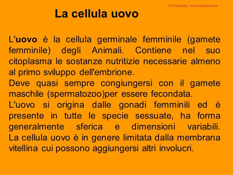 La cellula uovo L'uovo è la cellula germinale femminile (gamete femminile) degli Animali. Contiene nel suo citoplasma le sostanze nutritizie necessari
