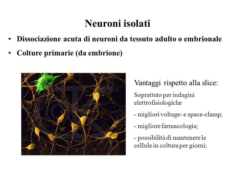 Neuroni isolati Dissociazione acuta di neuroni da tessuto adulto o embrionale Colture primarie (da embrione) Vantaggi rispetto alla slice: Soprattuto