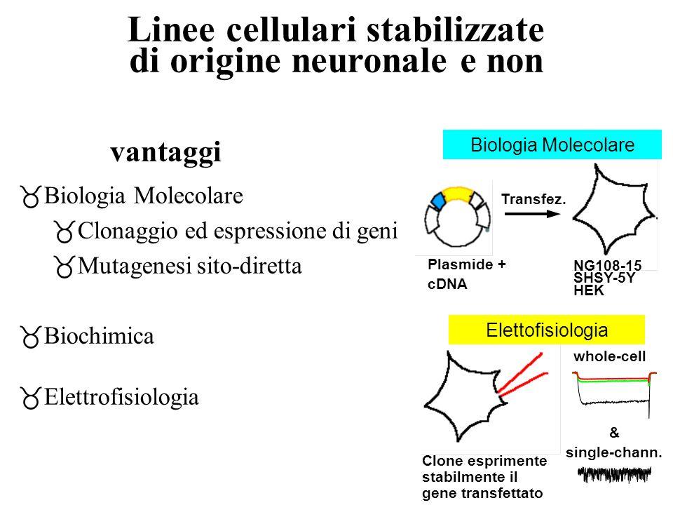 Linee cellulari stabilizzate di origine neuronale e non _Biologia Molecolare _Clonaggio ed espressione di geni _Mutagenesi sito-diretta _Biochimica _E