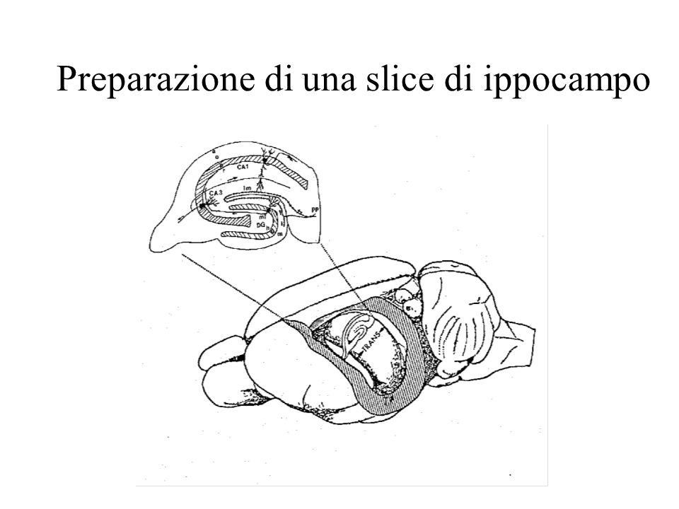 Preparazione di una slice di ippocampo