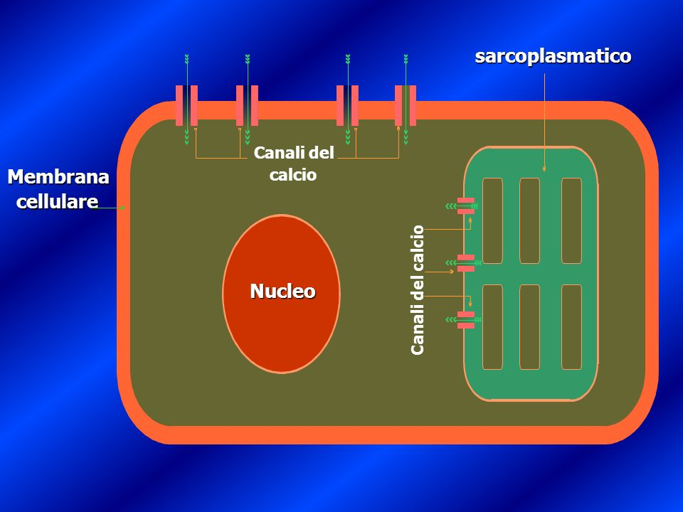 Reticolo Nucleo sarcoplasmatico Membrana cellulare Canali del calcio Canali del calcio