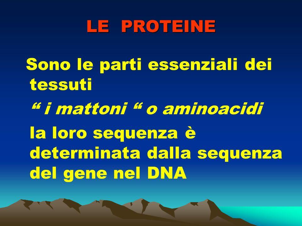 LE PROTEINE Sono le parti essenziali dei tessuti i mattoni o aminoacidi la loro sequenza è determinata dalla sequenza del gene nel DNA
