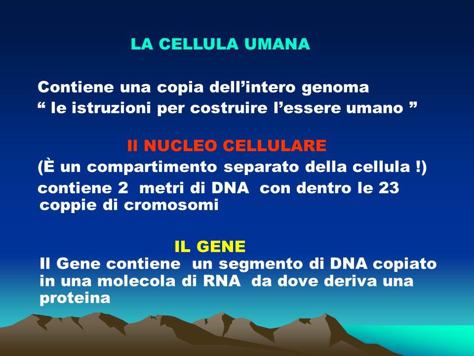 Contiene una copia dellintero genoma le istruzioni per costruire lessere umano Il NUCLEO CELLULARE (È un compartimento separato della cellula !) contiene 2 metri di DNA con dentro le 23 coppie di cromosomi IL GENE Il Gene contiene un segmento di DNA copiato in una molecola di RNA da dove deriva una proteina LA CELLULA UMANA