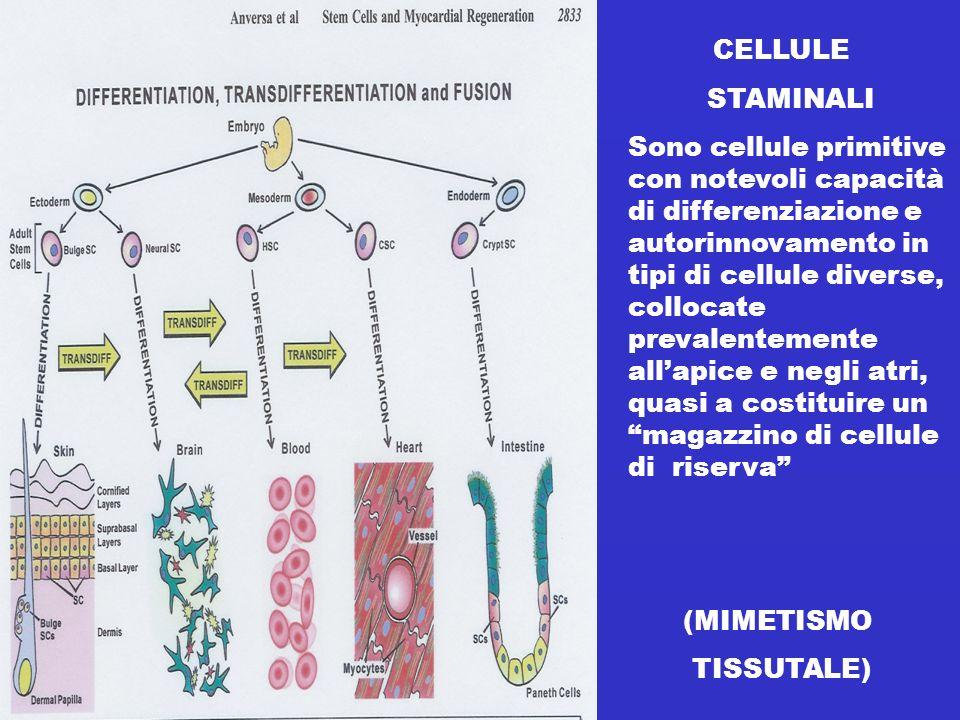 CELLULE STAMINALI Sono cellule primitive con notevoli capacità di differenziazione e autorinnovamento in tipi di cellule diverse, collocate prevalentemente allapice e negli atri, quasi a costituire un magazzino di cellule di riserva (MIMETISMO TISSUTALE)