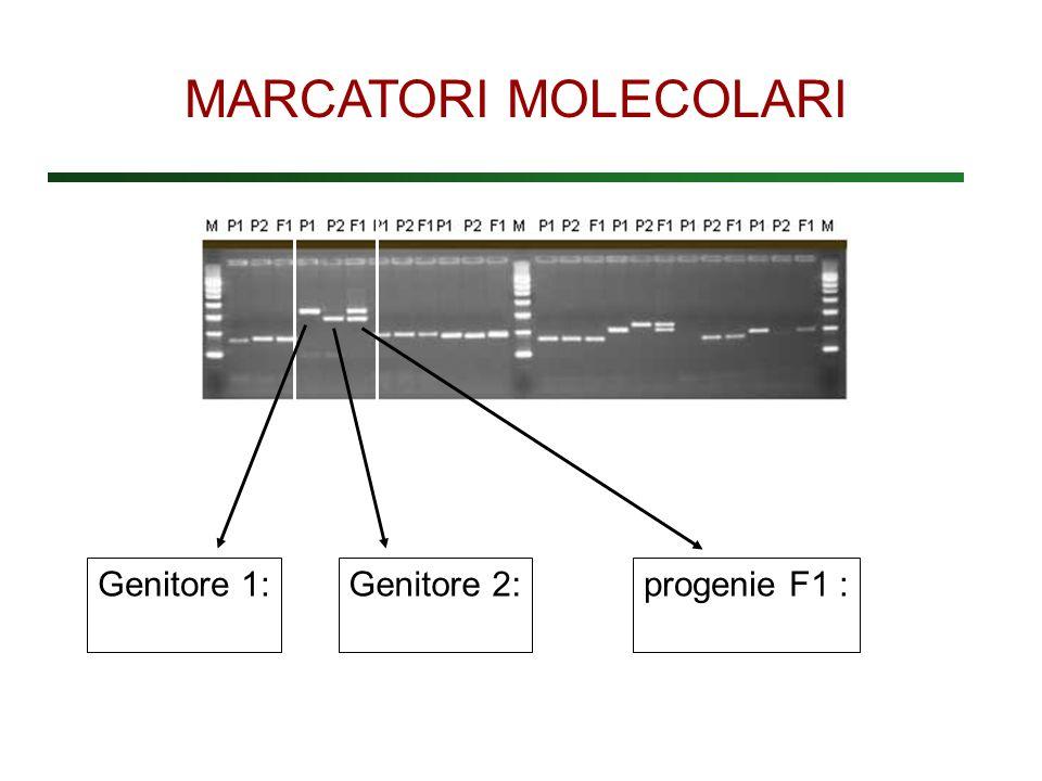 Genitore 1: Genitore 2:progenie F1 : MARCATORI MOLECOLARI