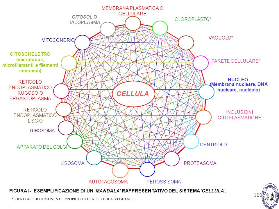 100 MEMBRANA PLASMATICA O CELLULARE CLOROPLASTO* RETICOLO ENDOPLASMATICO RUGOSO O ERGASTOPLASMA NUCLEO (Membrana nucleare, DNA nucleare, nucleolo) CENTRIOLO INCLUSIONI CITOPLASMATICHE PEROSSISOMA PROTEASOMALISOSOMA RIBOSOMA RETICOLO ENDOPLASMATICO LISCIO CITOSCHELETRO (microtubuli, microfilamenti e filamenti intermedi) MITOCONDRIO PARETE CELLULARE* FIGURA I- ESEMPLIFICAZIONE DI UN MANDALA RAPPRESENTATIVO DEL SISTEMA CELLULA.