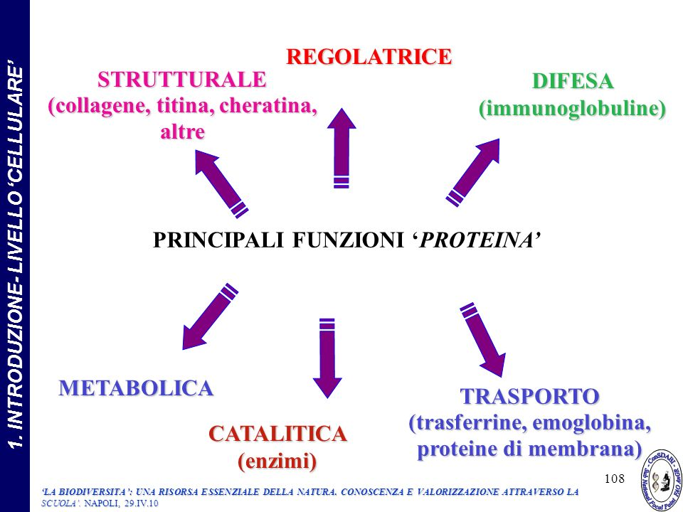 CATALITICA (enzimi) STRUTTURALE (collagene, titina, cheratina, altre STRUTTURALE (collagene, titina, cheratina, altre DIFESA (immunoglobuline) METABOLICA TRASPORTO (trasferrine, emoglobina, proteine di membrana) PRINCIPALI FUNZIONI PROTEINA REGOLATRICE 108 1.