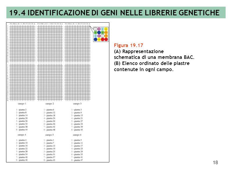 17 Figura 19.16 Screening di una libreria plasmidica. 19.4 IDENTIFICAZIONE DI GENI NELLE LIBRERIE GENETICHE