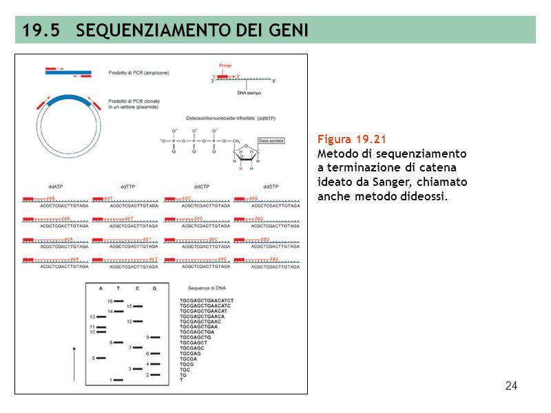 23 Figura 19.20 Risultato di una analisi autoradiografica di un filtro ibridato con uno specifico anticorpo marcato per lidentificazione di colonie di