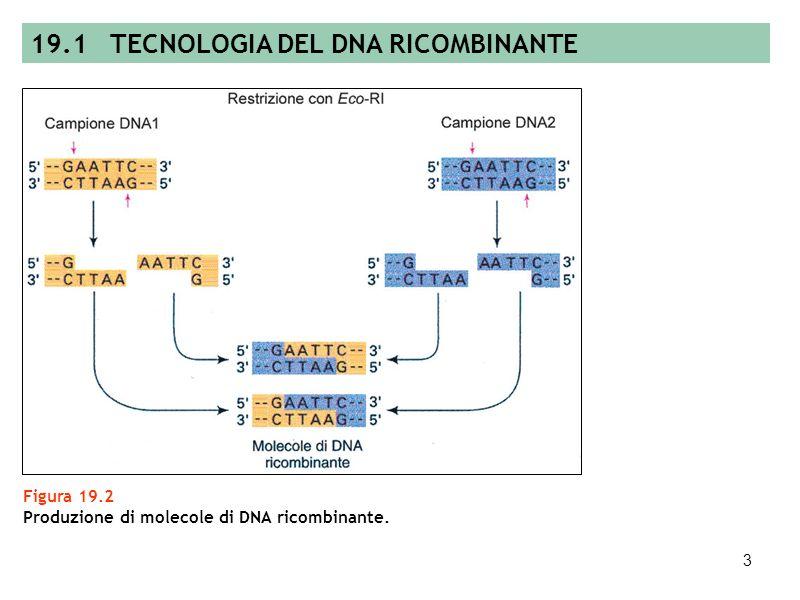 2 Figura 19.1 Meccanismo di azione di EcoRI (endonucleasi sticky end) (A) e Smal (enzima blunt end) (B). A B 19.1 TECNOLOGIA DEL DNA RICOMBINANTE