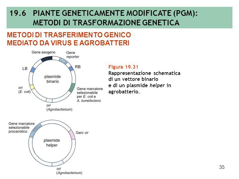 34 Figura 19.30 Vettore di clonaggio derivante dalla ricombinazione omologa di un vettore cointegrato con uno intermedio. METODI DI TRASFERIMENTO GENI