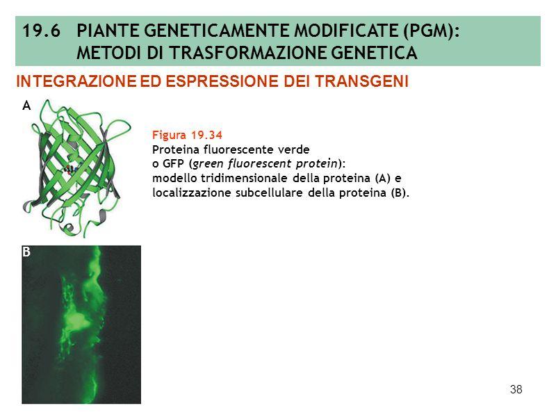 37 Figura 19.33 Vettori plasmidici impiegati per la trasformazione del genoma di cloroplasto: vettore contenente sia il gene esogeno che il gene marca