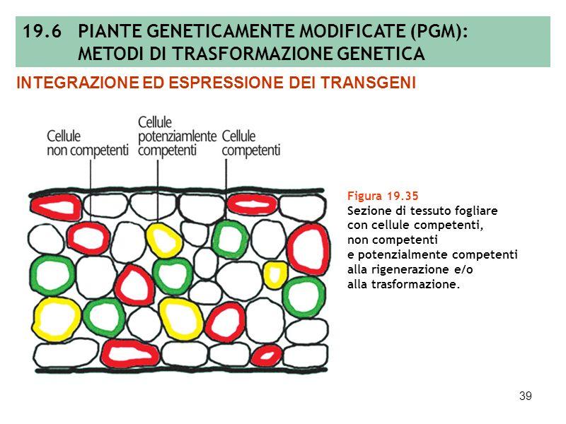 38 Figura 19.34 Proteina fluorescente verde o GFP (green fluorescent protein): modello tridimensionale della proteina (A) e localizzazione subcellular