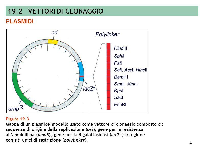 3 Figura 19.2 Produzione di molecole di DNA ricombinante. 19.1 TECNOLOGIA DEL DNA RICOMBINANTE