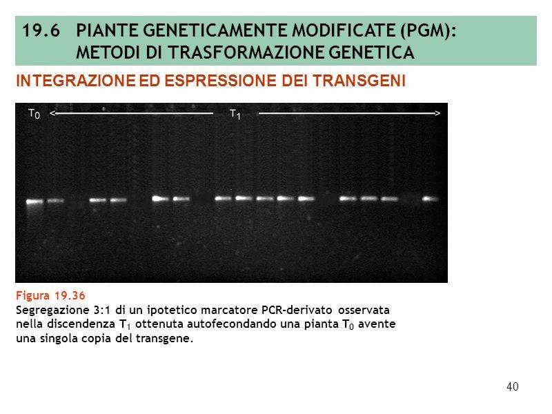 39 Figura 19.35 Sezione di tessuto fogliare con cellule competenti, non competenti e potenzialmente competenti alla rigenerazione e/o alla trasformazi