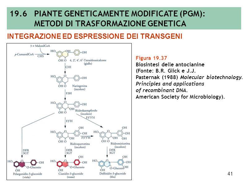 40 Figura 19.36 Segregazione 3:1 di un ipotetico marcatore PCR-derivato osservata nella discendenza T 1 ottenuta autofecondando una pianta T 0 avente