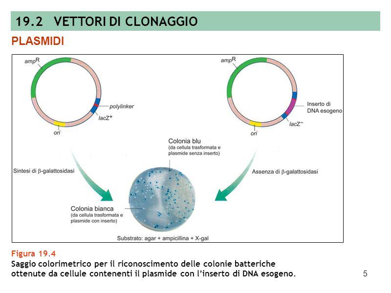 4 Figura 19.3 Mappa di un plasmide modello usato come vettore di clonaggio composto di: sequenza di origine della replicazione (ori), gene per la resi