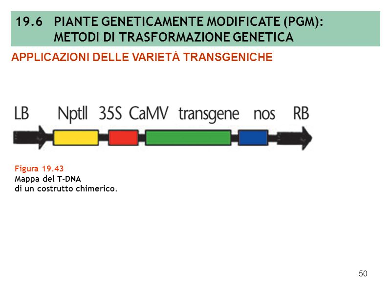 49 Tabella 19.7 Alcuni esempi di erbicidi con diversa modalità di azione e di enzimi codificati da geni clonati per lo più nei procarioti ed impiegati