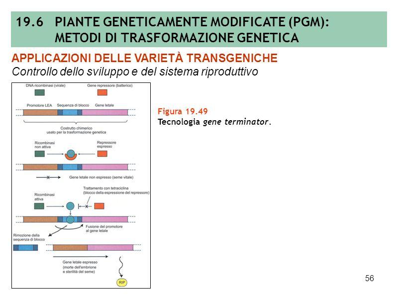 55 Figura 19.48 Melanzana partenocarpica (foto: A. Spena). APPLICAZIONI DELLE VARIETÀ TRANSGENICHE Controllo dello sviluppo e del sistema riproduttivo