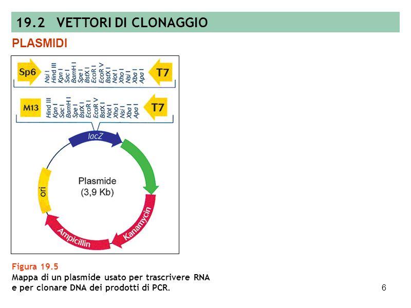 5 Figura 19.4 Saggio colorimetrico per il riconoscimento delle colonie batteriche ottenute da cellule contenenti il plasmide con linserto di DNA esoge