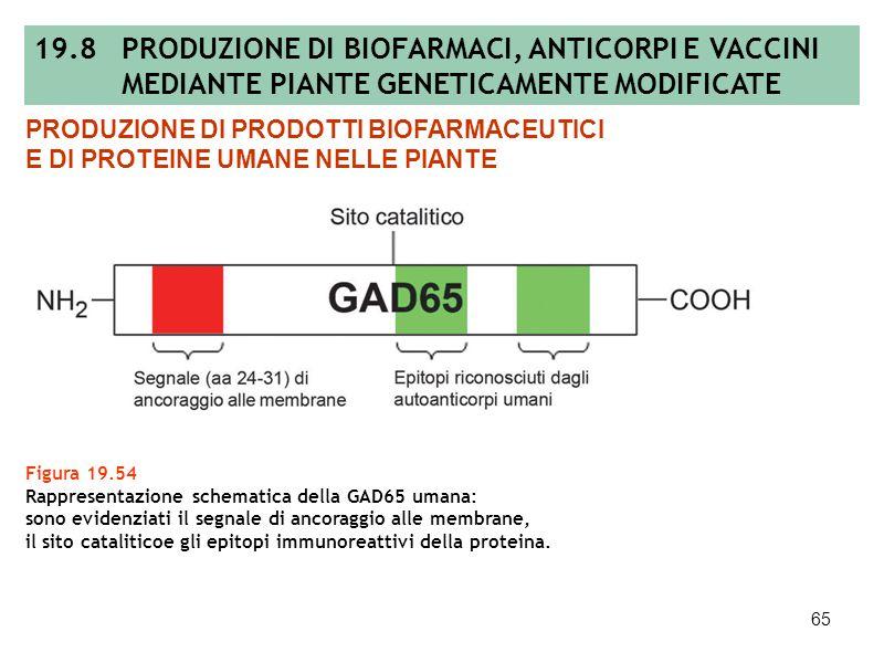 64 Tabella 19.11 Produzione di composti biofarmaceutici con piante transgeniche per la terapia medica nelluomo. PRODUZIONE DI PRODOTTI BIOFARMACEUTICI