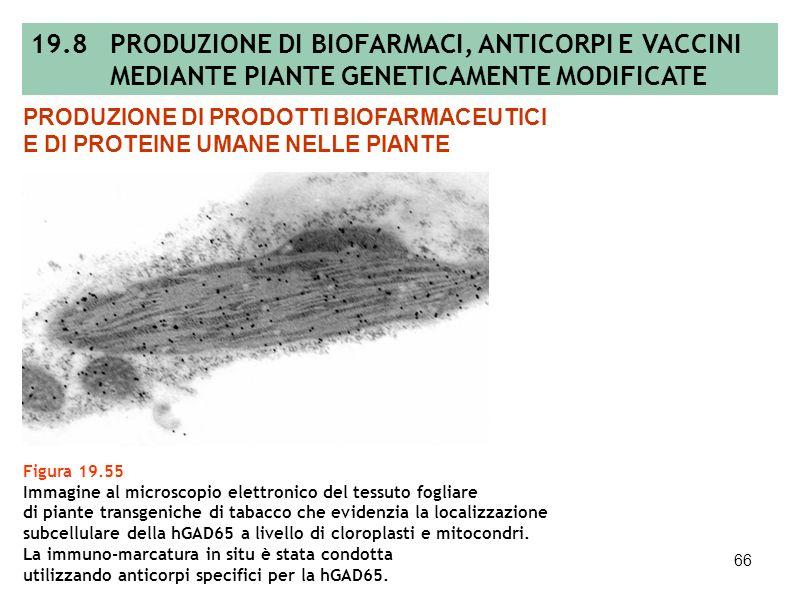 65 Figura 19.54 Rappresentazione schematica della GAD65 umana: sono evidenziati il segnale di ancoraggio alle membrane, il sito cataliticoe gli epitop
