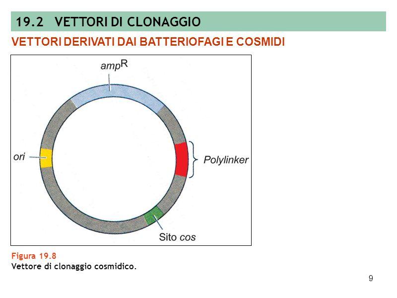 8 Figura 19.7 Clonaggio di DNA esogeno in vettori di inserzione e di sostituzione. VETTORI DERIVATI DAI BATTERIOFAGI E COSMIDI 19.2 VETTORI DI CLONAGG