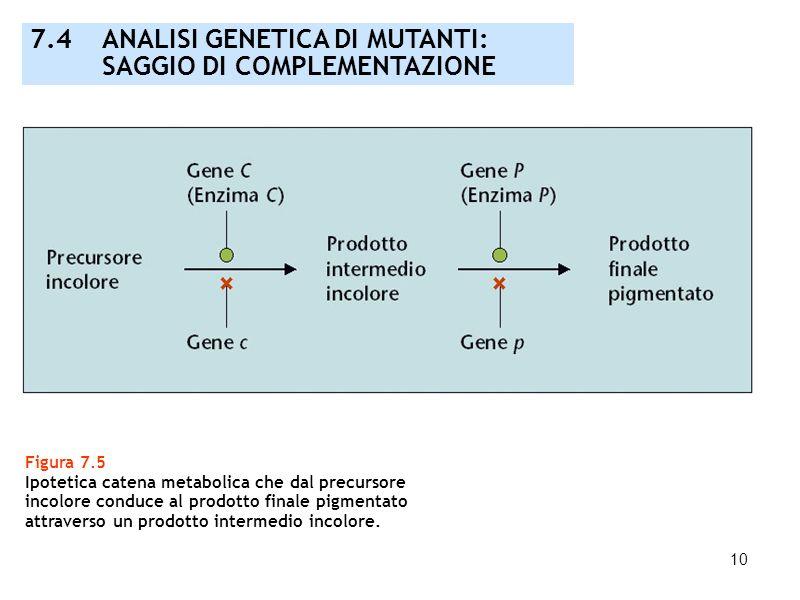 10 Figura 7.5 Ipotetica catena metabolica che dal precursore incolore conduce al prodotto finale pigmentato attraverso un prodotto intermedio incolore