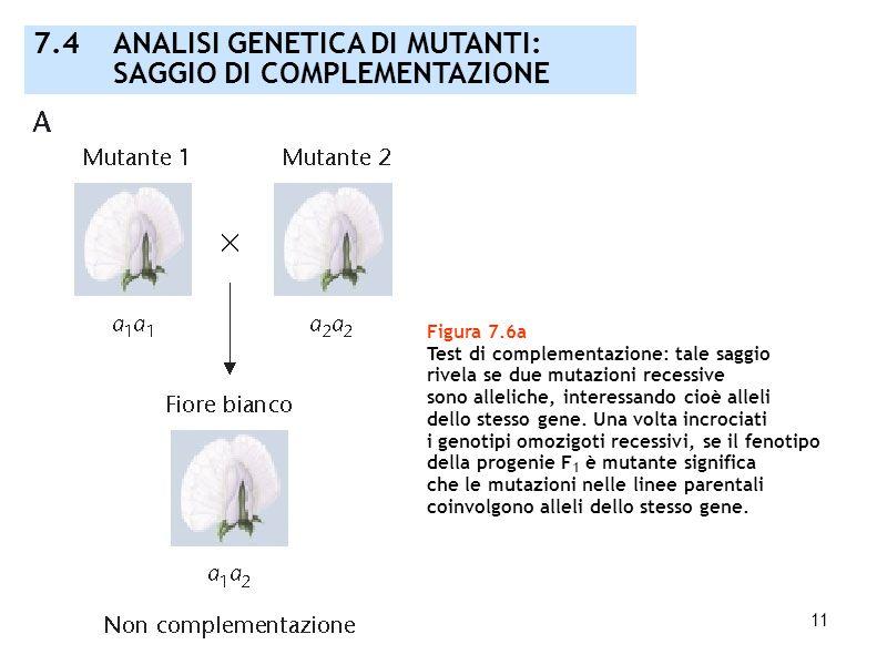 11 Figura 7.6a Test di complementazione: tale saggio rivela se due mutazioni recessive sono alleliche, interessando cioè alleli dello stesso gene. Una