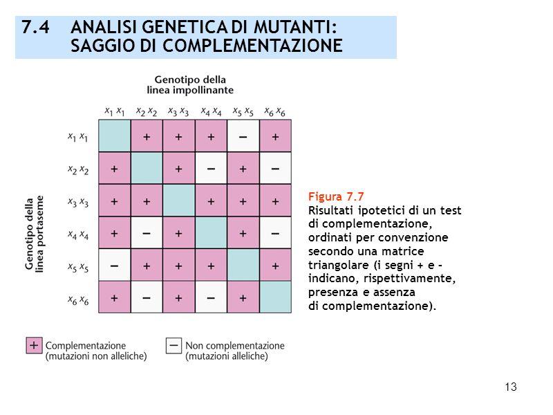14 Figura 7.8 Rappresentazione grafica dei risultati di un test di complementazione: questo esempio evidenzia tre gruppi di complementazione ognuno dei quali costituisce un singolo gene richiesto per la colorazione dei fiori.