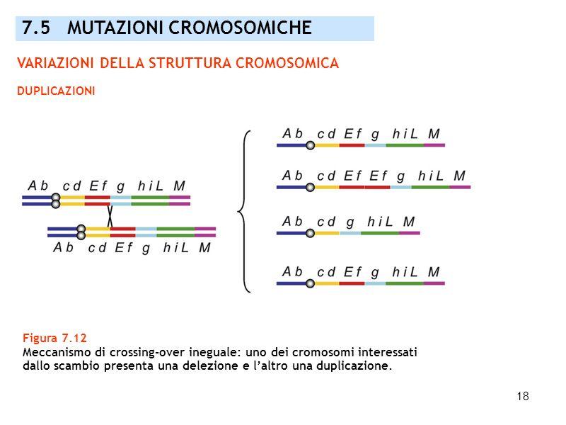18 Figura 7.12 Meccanismo di crossing-over ineguale: uno dei cromosomi interessati dallo scambio presenta una delezione e laltro una duplicazione. 7.5