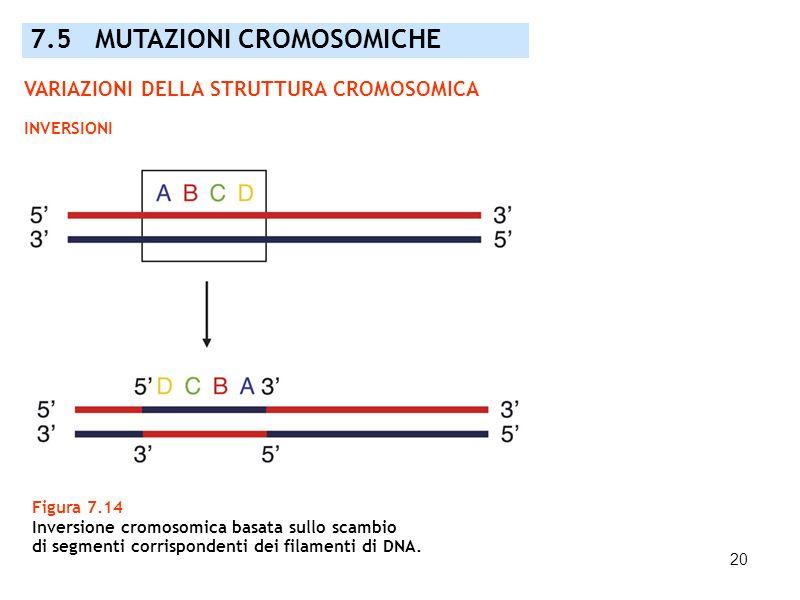 20 Figura 7.14 Inversione cromosomica basata sullo scambio di segmenti corrispondenti dei filamenti di DNA. 7.5 MUTAZIONI CROMOSOMICHE VARIAZIONI DELL