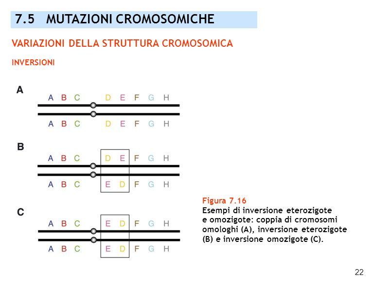 22 Figura 7.16 Esempi di inversione eterozigote e omozigote: coppia di cromosomi omologhi (A), inversione eterozigote (B) e inversione omozigote (C).