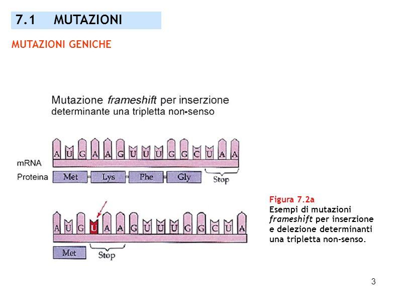 3 Figura 7.2a Esempi di mutazioni frameshift per inserzione e delezione determinanti una tripletta non-senso. 7.1 MUTAZIONI MUTAZIONI GENICHE
