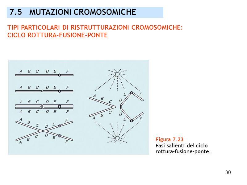 30 Figura 7.23 Fasi salienti del ciclo rottura-fusione-ponte. 7.5 MUTAZIONI CROMOSOMICHE TIPI PARTICOLARI DI RISTRUTTURAZIONI CROMOSOMICHE: CICLO ROTT