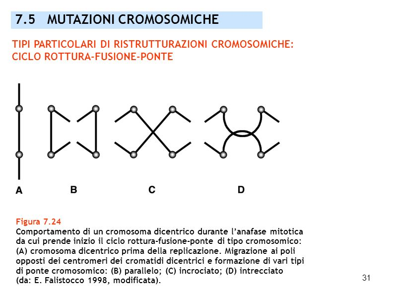 31 Figura 7.24 Comportamento di un cromosoma dicentrico durante lanafase mitotica da cui prende inizio il ciclo rottura-fusione-ponte di tipo cromosom