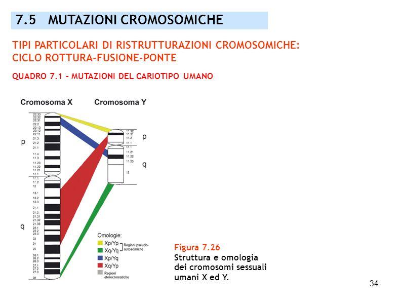 34 7.5 MUTAZIONI CROMOSOMICHE Figura 7.26 Struttura e omologia dei cromosomi sessuali umani X ed Y. TIPI PARTICOLARI DI RISTRUTTURAZIONI CROMOSOMICHE: